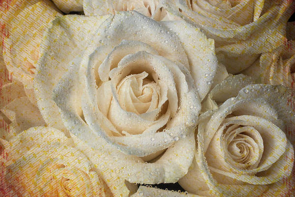 Wet Rose Wall Art - Photograph - White Rose With Dew by Garry Gay