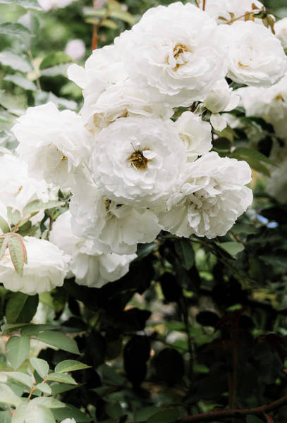 Photograph - White Roses by Andrea Anderegg