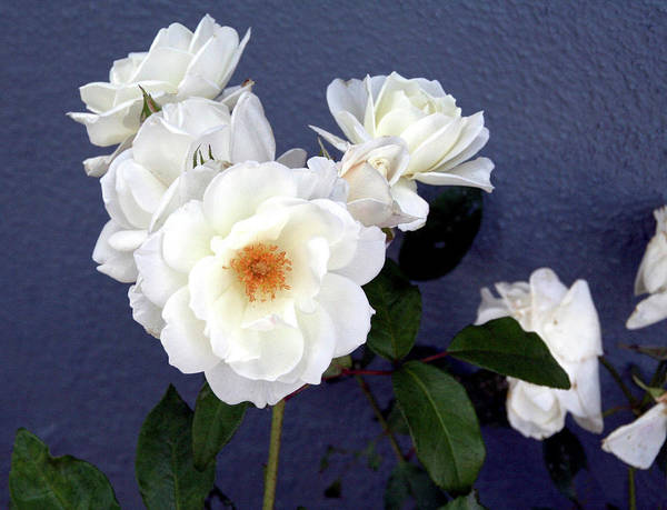 Photograph - White Roses On Blue  by Gene Parks