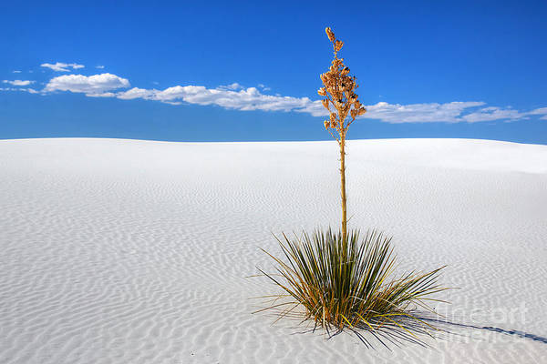 Photograph - White Sands Yucca by Peter Kennett