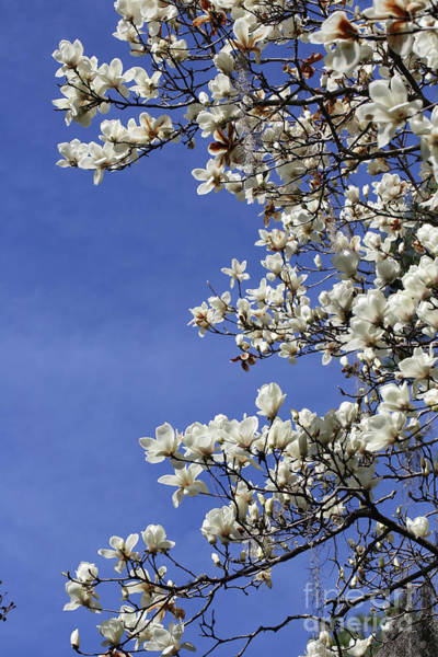 Saucer Magnolia Photograph - White Saucer Magnolia Against Blue Sky by Carol Groenen