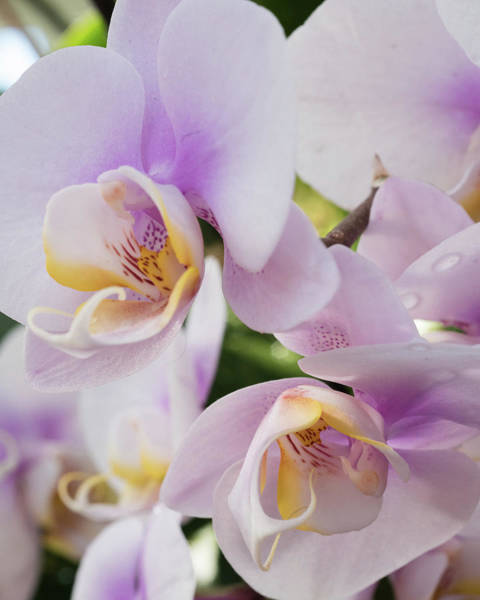 Floristry Photograph - White Soft Orchids Blooming by Zina Zinchik