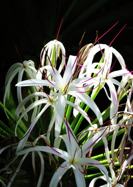 Spider Lily Wall Art - Photograph - White Spider Lily by Kerri Ligatich