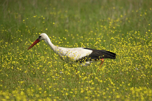 Photograph - White Stork Looking For Frogs by Cliff Norton