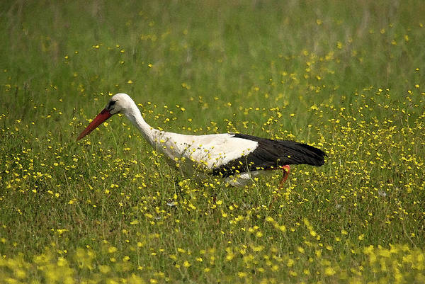 Photograph - White Stork Looking Fr Frogs by Cliff Norton