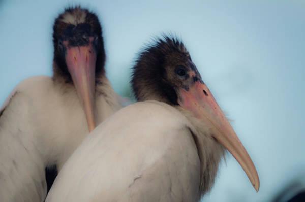 Photograph - White Stork Offspring by Wolfgang Stocker