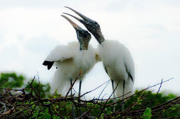 Photograph - White Storks Nesting by Wolfgang Stocker