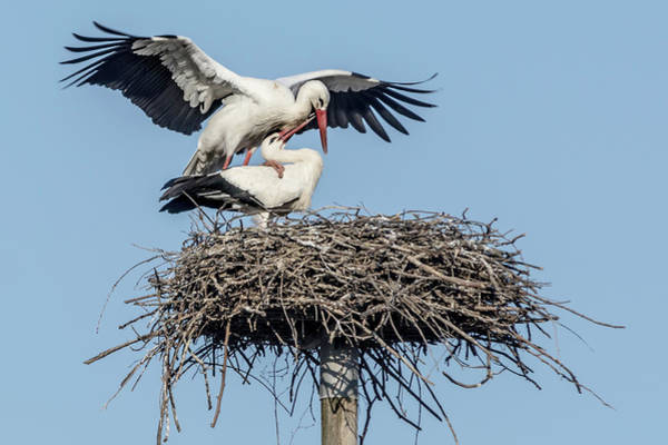 Photograph - White Storks Of Fagagna 3 by Wolfgang Stocker