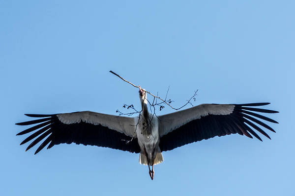 Photograph - White Storks Of Fagagna 5 by Wolfgang Stocker
