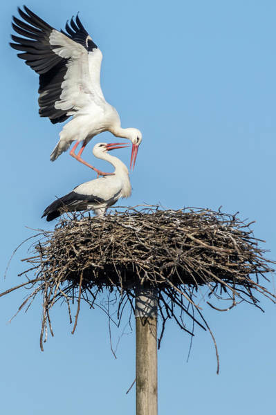 Photograph - White Storks Of Fagagna 6 by Wolfgang Stocker