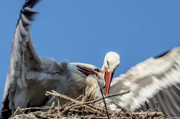 Photograph - White Storks Of Fagagna 2 by Wolfgang Stocker