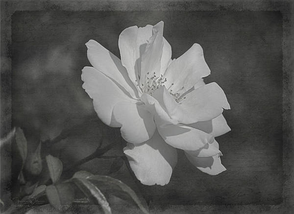 Photograph - White Summer Rose In Black And White by Teresa Wilson