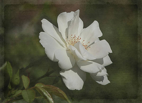 Photograph - White Summer Rose by Teresa Wilson