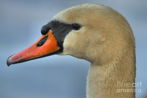 Photograph - White Swan Closeup by Adam Jewell