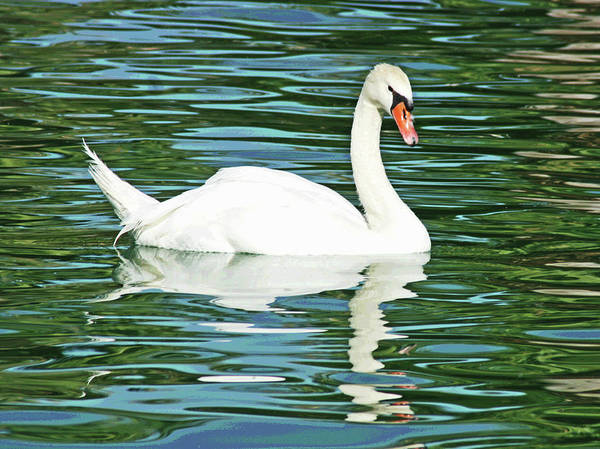 Photograph - White Swan by Larry Oskin