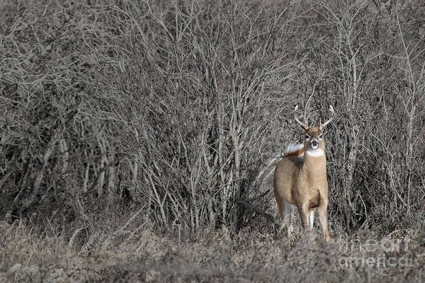 Photograph - White-tail Buck by Brad Allen Fine Art