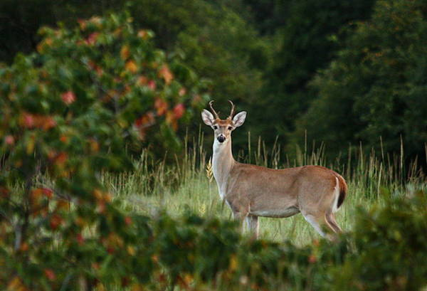 Photograph - White-tail Buck Through The Trees by Sheila Brown
