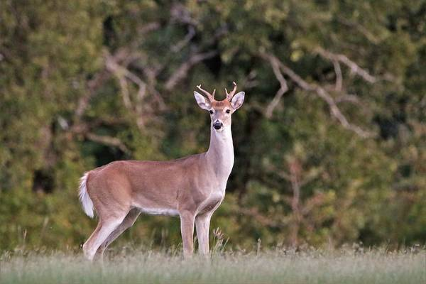 Photograph - White-tail Buck Watching Me by Sheila Brown