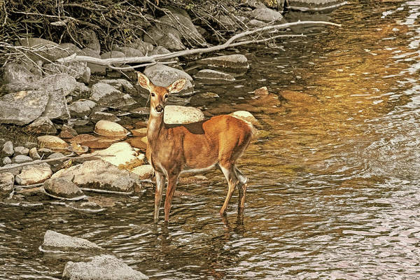 Wall Art - Photograph - White-tail Deer At The River's Edge by Jennie Marie Schell