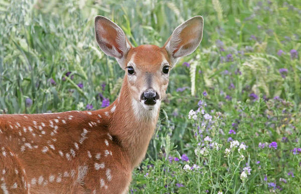 Wall Art - Photograph - White-tail Deer Fawn by Jennie Marie Schell