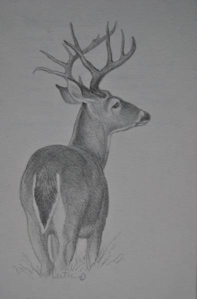 White Tailed Deer Drawing - White-tail Deer Sketch. by Calvin Carter