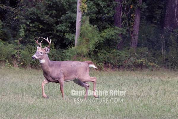 Photograph - White Tailed Buck 2441 by Captain Debbie Ritter