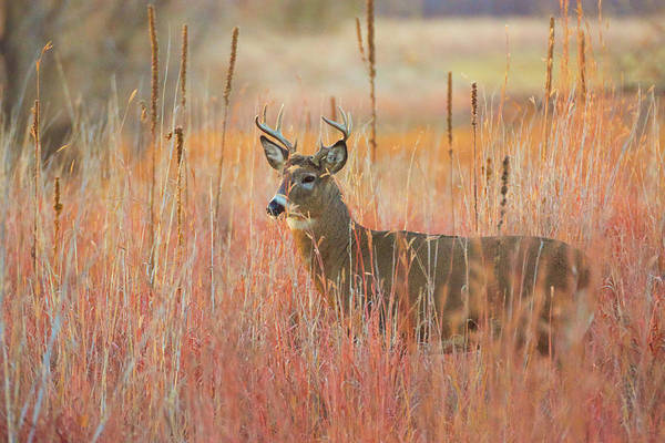 Photograph - White-tailed Buck Deer In Autumn Morning Sunlight by John De Bord