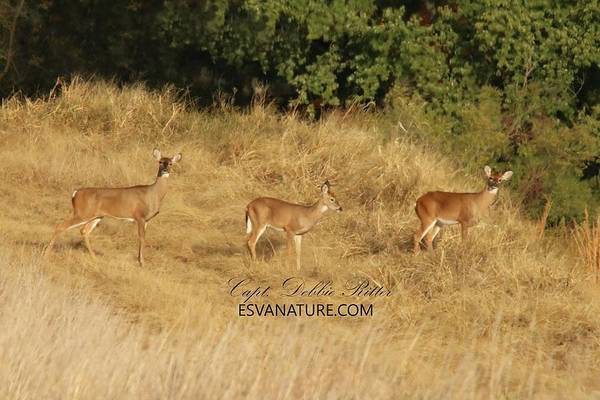 Photograph - White Tailed Deer 1395 by Captain Debbie Ritter