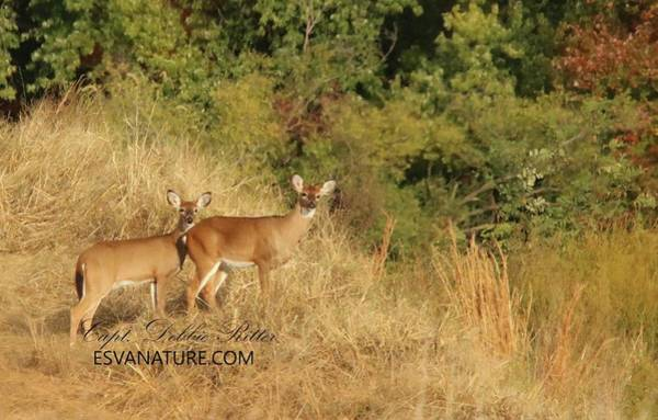 Photograph - White Tailed Deer 1411 by Captain Debbie Ritter