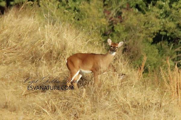Photograph - White Tailed Deer 1417 by Captain Debbie Ritter