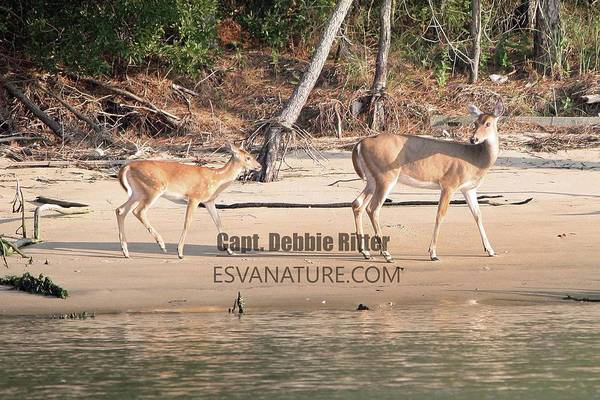 Photograph - White Tailed Deer 7834-1 by Captain Debbie Ritter