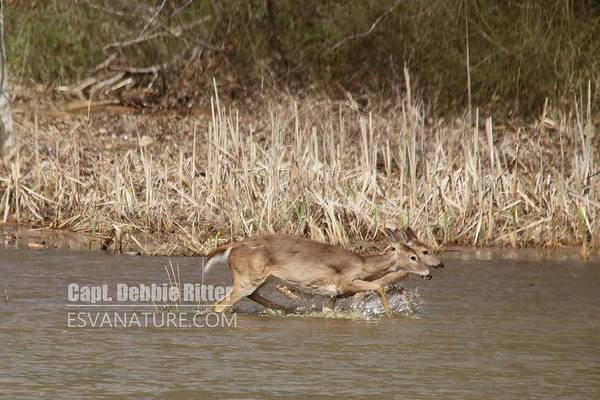 Photograph - White Tailed Deer 8374 by Captain Debbie Ritter