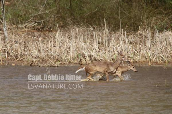 Photograph - White Tailed Deer 8376 by Captain Debbie Ritter