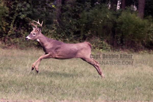 Photograph - White Tailed Deer Buck 2445 by Captain Debbie Ritter