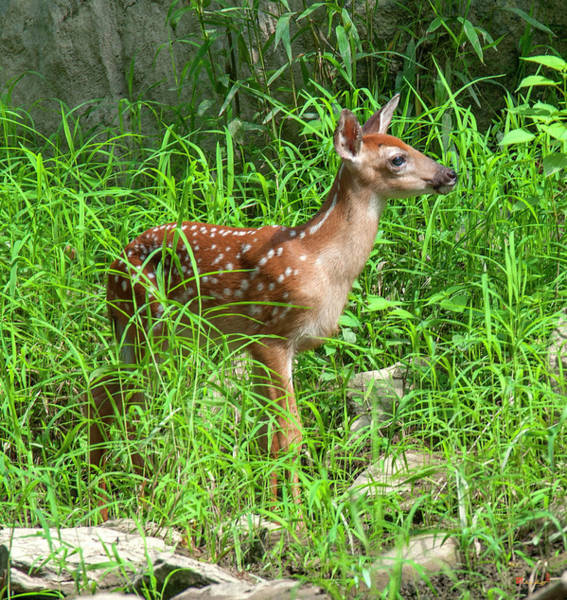 Photograph - White-tailed Deer Fawn Dmam0040 by Gerry Gantt