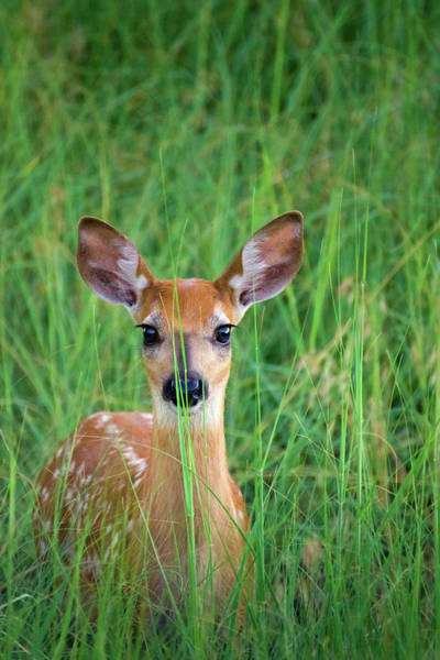 Photograph - White-tailed Deer Fawn In Grass by John De Bord