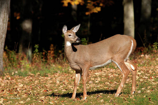 Photograph - White Tailed Deer In Autumn by Christina Rollo