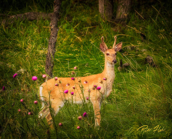 Photograph - White-tailed Deer In Spring by Rikk Flohr