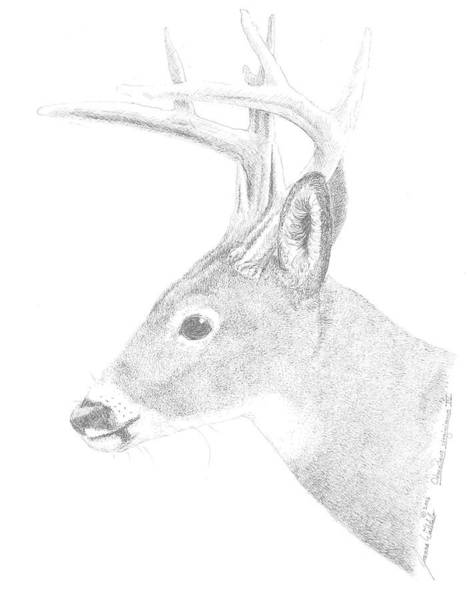 White Tailed Deer Drawing - White Tailed Deer Iv by Joanna Walitalo