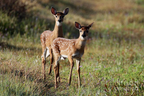 Photograph - White-tailed Deer by Meg Rousher