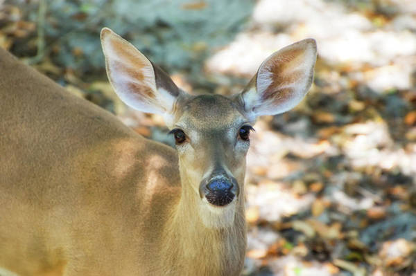 Wall Art - Photograph - White-tailed Deer by Rich Leighton