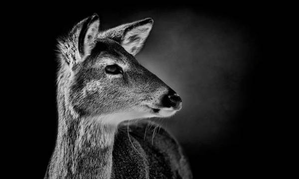 Wall Art - Photograph - White Tailed Doe - Black And White by SharaLee Art
