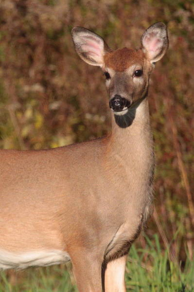 Wall Art - Photograph - White-tailed Doe by Bruce J Robinson