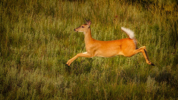 Photograph - White-tailed Doe Leaping by Rikk Flohr