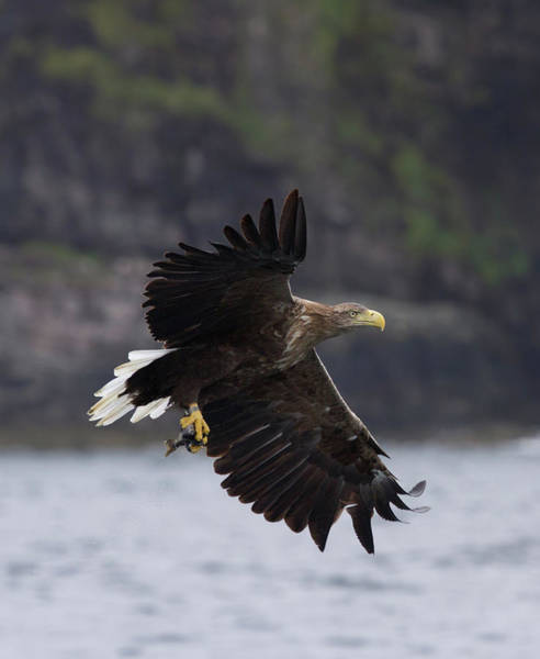 Photograph - White-tailed Eagle Against Cliffs by Peter Walkden