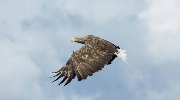Photograph - White-tailed Eagle Against Clouds by Peter Walkden