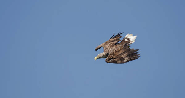 Photograph - White-tailed Eagle Diving by Peter Walkden