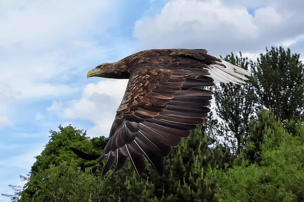 Photograph - White Tailed Eagle by Kuni Photography