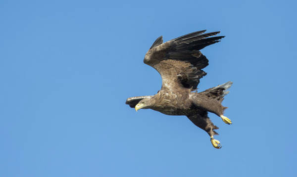 Photograph - White-tailed Eagle On A Clear Day by Peter Walkden