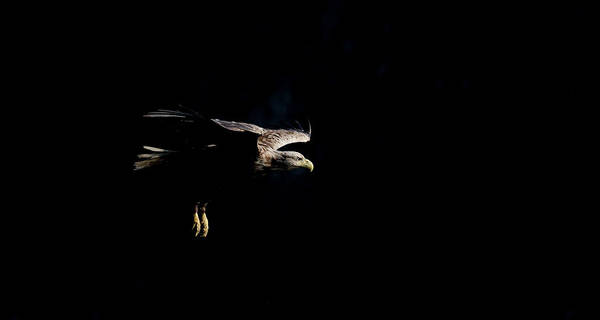 Photograph - White-tailed Eagle On Black by Peter Walkden